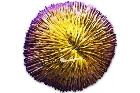 Παρδαλό κοράλι